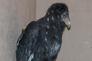 Young condor in treatment