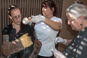 Dr. Orr, Jan and Alex treat a condor